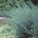 Blue Arctic Willow/Purple Osier Willow, Salix purpurea 'Nana'