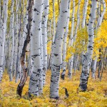 Quaking Aspen, Populous tremuloides