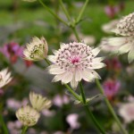 Astrantia, Astrantia major