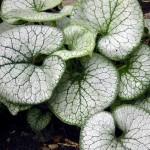 Brunnera/Heartleaf Bugloss, Brunnera macrophylla spp.