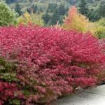 Burning Bush, Euonymus alatus 'Compactus'