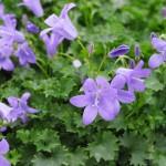 Bellflower, Campanula spp.