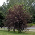 Chokecherry, Prunus virginiana