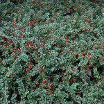 Cranberry Cotoneaster, Cotoneaster apiculatus