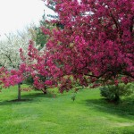 Ornamental Flowering Crabapple, Malus spp.