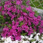 Creeping Phlox, Phlox subulata