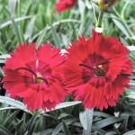 Dianthus/Pinks, Dianthus spp.