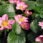 Fragaria/Ornamental Strawberry, Fragaria spp.