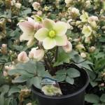 Hellebore/Christmas Rose, Helleborus niger spp.