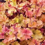 Heuchera/Coral Bells, Heuchera spp.