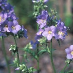 Jacob's Ladder, Polemonium spp.