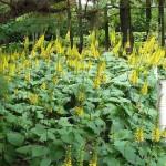 Ligularia/Rocket, Ligularia spp.