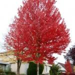 Autumn Blaze Maple, Acer x freemanii 'Jeffersred'
