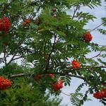 Mountain Ash, Sorbus aucuparia