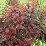 Ninebark, Physocarpus opulifolius spp.