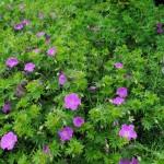 Geranium/Cranesbill, Geranium spp.