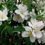 Mock Orange/Syringa, Philadelphus lewisii