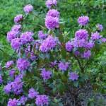 PJM, Rhododendron P.J.M.