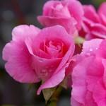 Parkland Rose, Rosa Morden Centennial