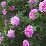 Hybrid Rugosa, Rosa Therese Bugnet