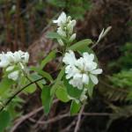 Serviceberry/Saskatoon, Amelanchier alnifolia