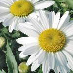 Shasta Daisy, Leucanthemum x superbum