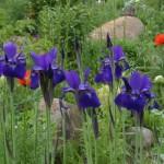 Siberian Iris, Iris sibirica