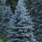 Colorado Blue Spruce, Picea pungens