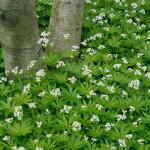 Sweet Woodruff/Bedstraw, Galium odoratum