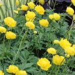 Trollius/Globeflower, Trollius chinensis spp.