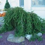 Weeping Norway Spruce, Picea abies pendula