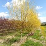 Golden Willow, Salix alba