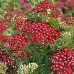 Yarrow, Achillea millefolium spp.