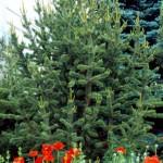 Bristlecone Pine, Pinus aristata