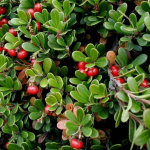 Kinnikinnick/Bearberry, Arctostaphylos uva-ursi